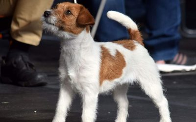 Jack Russel Terrier hodowla – Jaki jest Jack?